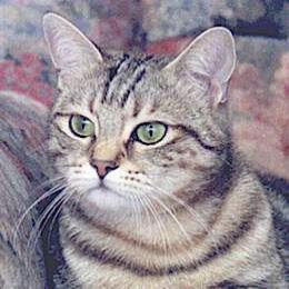 chat domestique européen