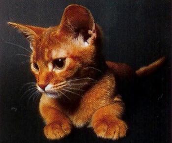 L'abyssin est un chat joueur
