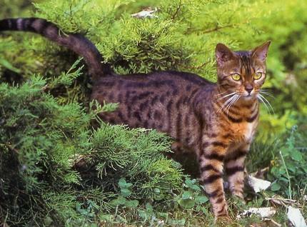 Le Bengal ressemble au chat léopard