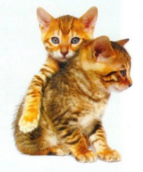Deux chatons de la race Bengal