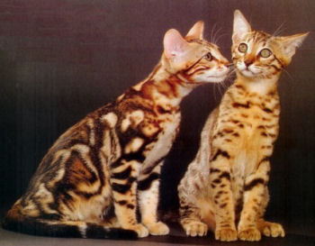 Photo d'un couple de Bengal