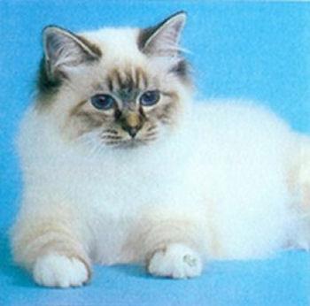 Un chaton birman