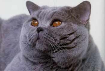 Portrait du british shorthair