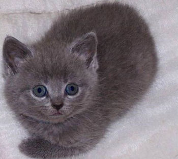 Photo d'un chaton chartreux
