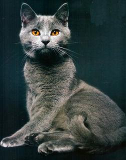 Portrait du chartreux