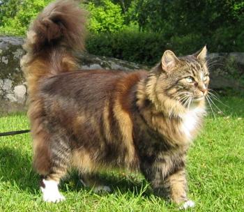 Le chat norv gien ou norsk skogkatt - Prix chat munchkin ...