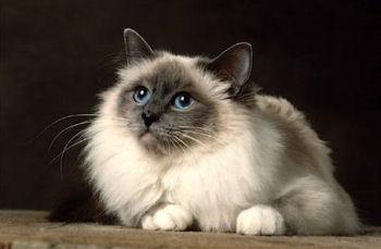 Belles images de chats (race sacré de Birmanie).  Le blog de zapi. Images,
