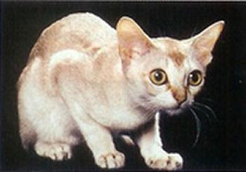 Le Singapura est la race de chat la plus petite au monde