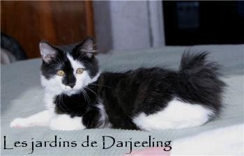 Billy Amulet Cat, kurilian bobtail mâle des jardins de Darjeeling