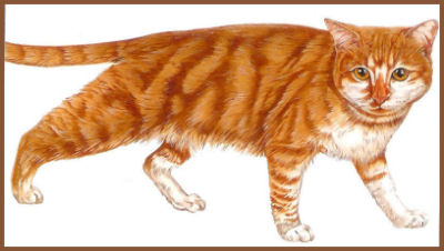 l-europeen-red-tabby.jpg