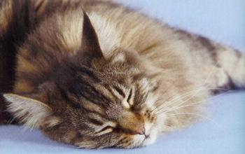 Le Maine Coon, une race de chat exceptionnelle