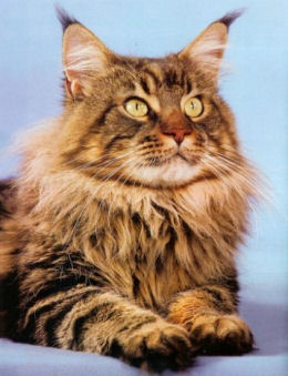 Portrait du Maine coon