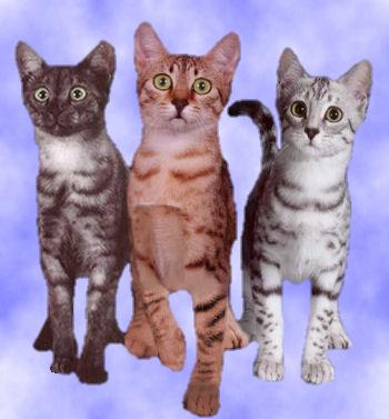 Les trois couleurs officielles du Mau égyptien