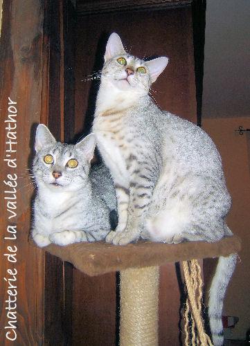 Le Mau égyptien est l'une des plus anciennes races de chat