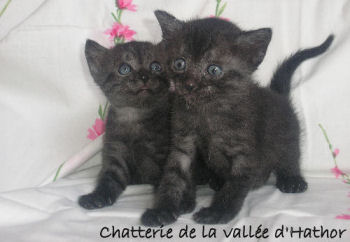Photo de deux chatons de la race Mau égyptien
