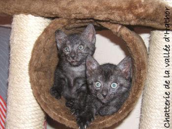 Les chatons Mau égyptien sont très joueurs