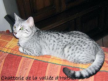 Le mau égyptien, le chat de la déesse Bastet