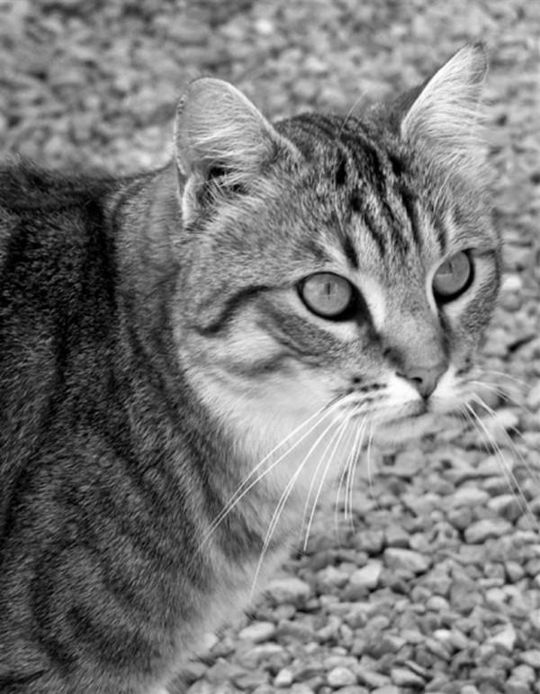 """Résultat de recherche d'images pour """"Belles photos de chat en noir et blanc"""""""