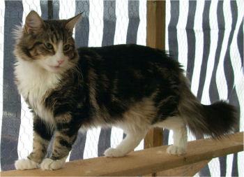 Le Norvégien est également appelé chat des forêts norvégiennes