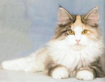 Portrait du chat Norvégien