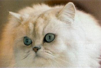 Le Persan est un chat doux et affectueux