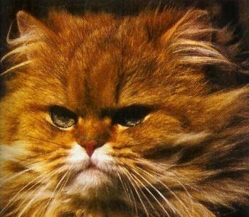 Le Persan est un chat à poil long