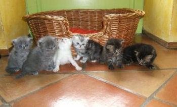 Photo de chatons persan