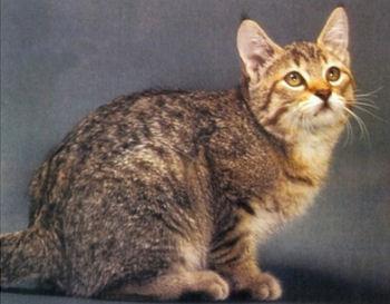 Le Pixie-bob est un chat tendre et affectueux
