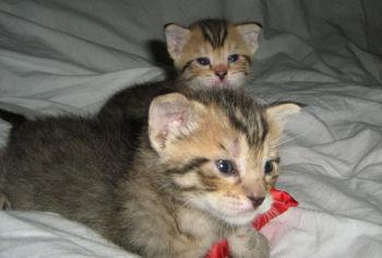 Photo de deux chatons de race Pixie-bob