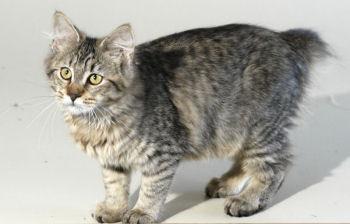 Le Pixie-bob est un chat à l'aspect sauvage