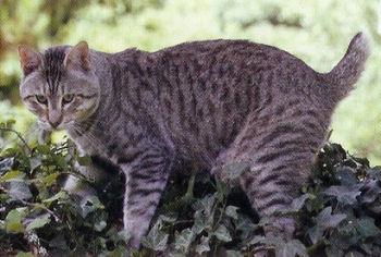 Le Pixie-bob ressemble étrangement au lynx