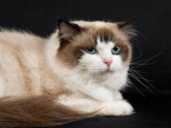 Le ragdoll est un chat à poil mi-long