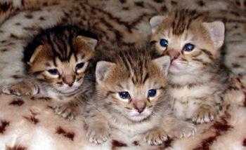 Jeunes chatons savannah