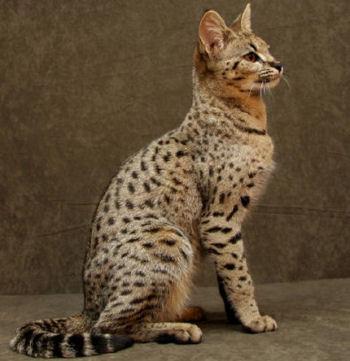 Le savannah est un chat qui aime l'eau