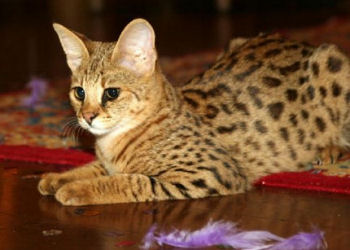 Couleur de pelage spotted tabby du savannah