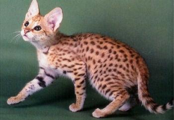 Le savannah ressemble beaucoup au serval