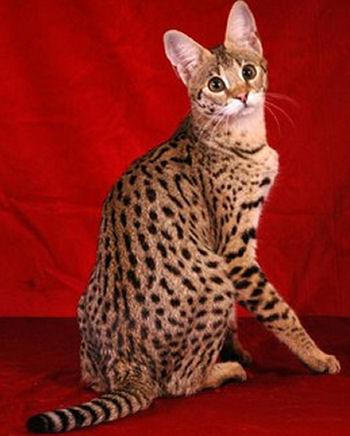 Le savannah est un croisement entre un chat et un serval