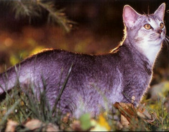 Le Singapura est un chat de nature curieuse