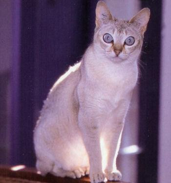 Le chat Singapura